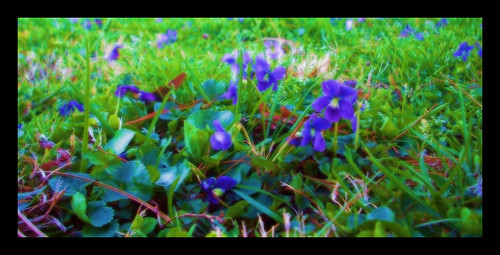 2009 apr09 spring flowers wildviolets greengrass purplepetals towergrovepark missouri stehlineffect amazingphotography stlouis saintlouis flower flickrgolfclub