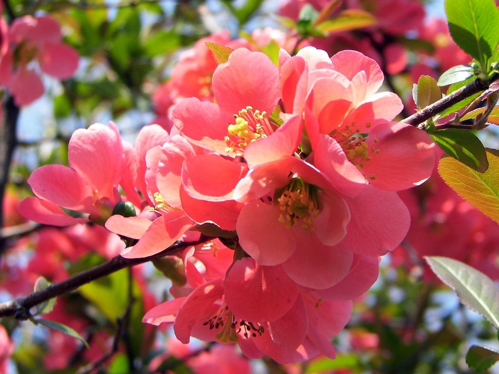 ... Japán birs / Japanese quince | by AZso
