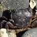 Flickr photo 'Purple Shore Crab - Hemigrapsus nudus' by: MT Lynette.