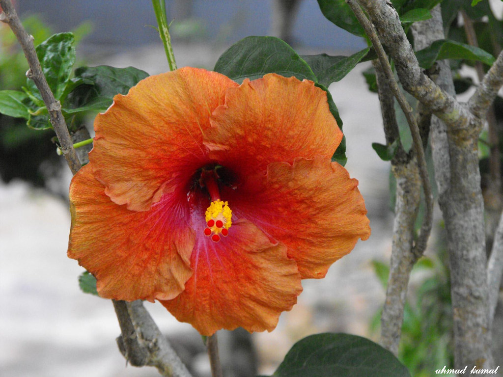 Bunga Raya Bunga Kebangsaan 3 Ahmad Kamal Flickr