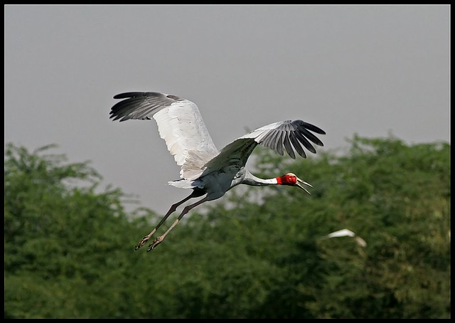 Sarus Crane flying in Sultanpur Bird Sanctuary, India | Flickr