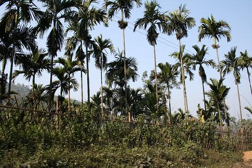 india tree moving meghalaya ribhoi