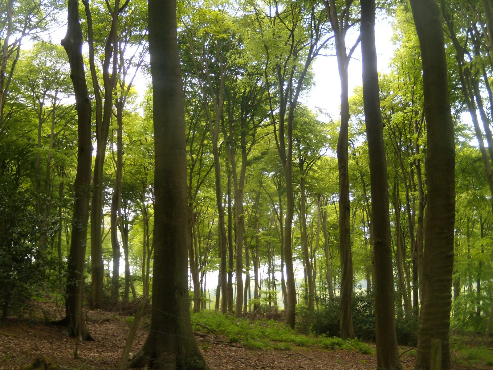 Beech trees Henley Circular via Stonor