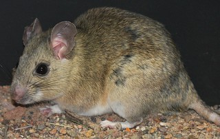 White-throated Wood Rat (Neotoma albigula) | by J. N. Stuart