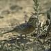 Flickr photo 'Sage Thrasher (Oreoscoptes montanus)' by: almiyi.
