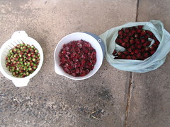 Rosellas, calix, fruit (seed pods) and full fruit