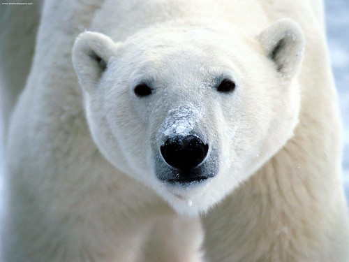 Snow on Snout, Polar Bear | by flickrfavorites