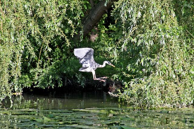 Héron de l'étang de Longchamp