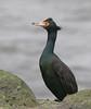 Red-faced Cormorant by Glen Tepke