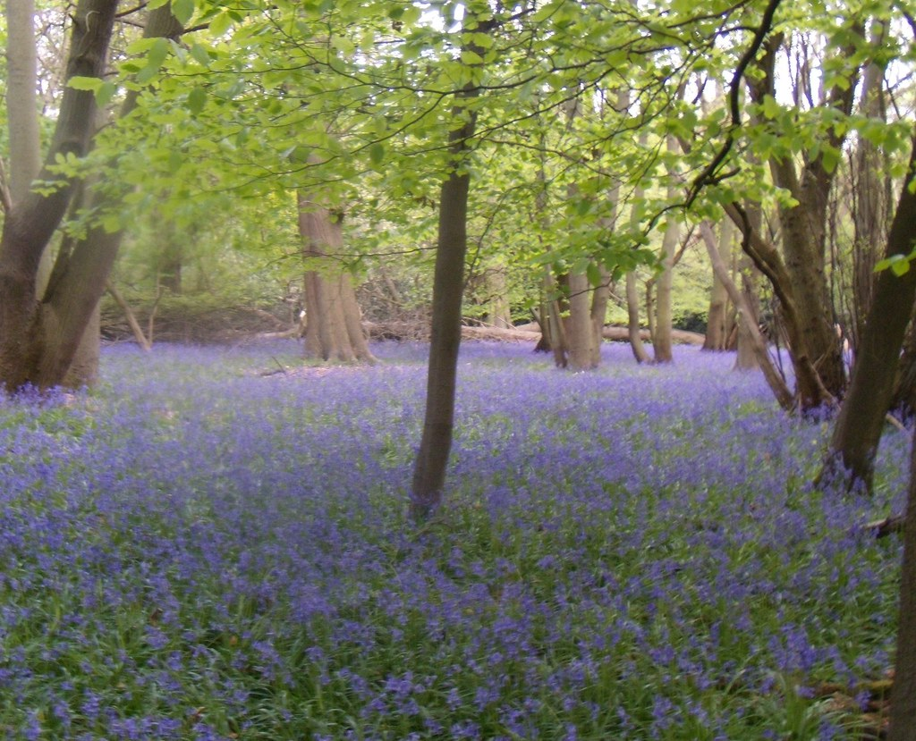 Bluebell wood 3 Tring to Berkhamsted