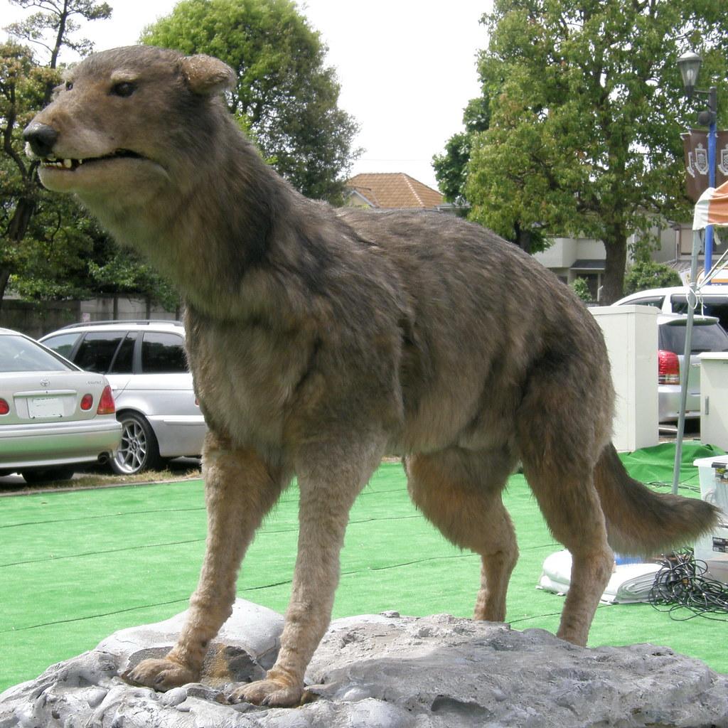 #3664 Japanese wolf (ニホンオオカミ)