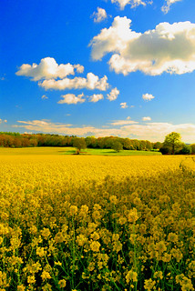 Rape Field West Sussex May | by Fittleworth ~ UK