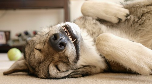 hybrid thumper wolfhybrid kickingback evergreencolorado partwolf ysplix goldstaraward olympuse3 wolfdogmix ericosmann zuiko1454mmf2835ed