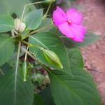 非洲鳳仙花