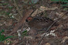 Marbled Wood-Quail by chlorophonia