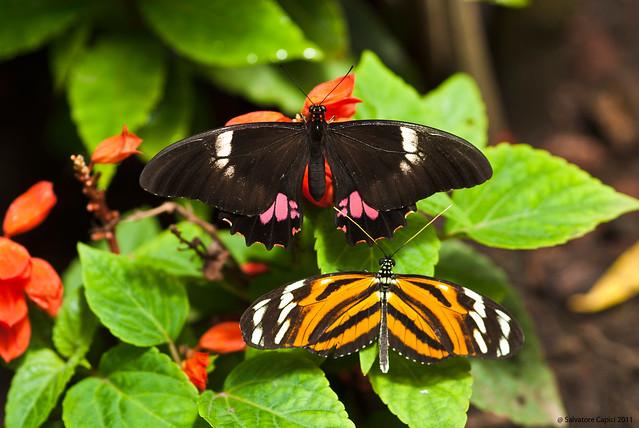 Butterflies - Papilio anchisiades & Heliconius ismenius telchinia