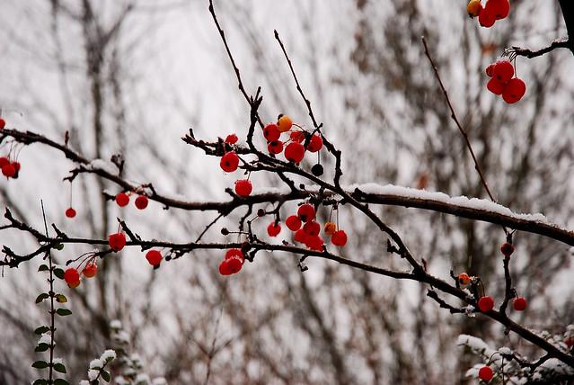 29 - 05 janvier 2009 Maisons-Alfort Jour de neige = Snowy day Promenade au bord de la Marne Fruits rouges = Red fruits
