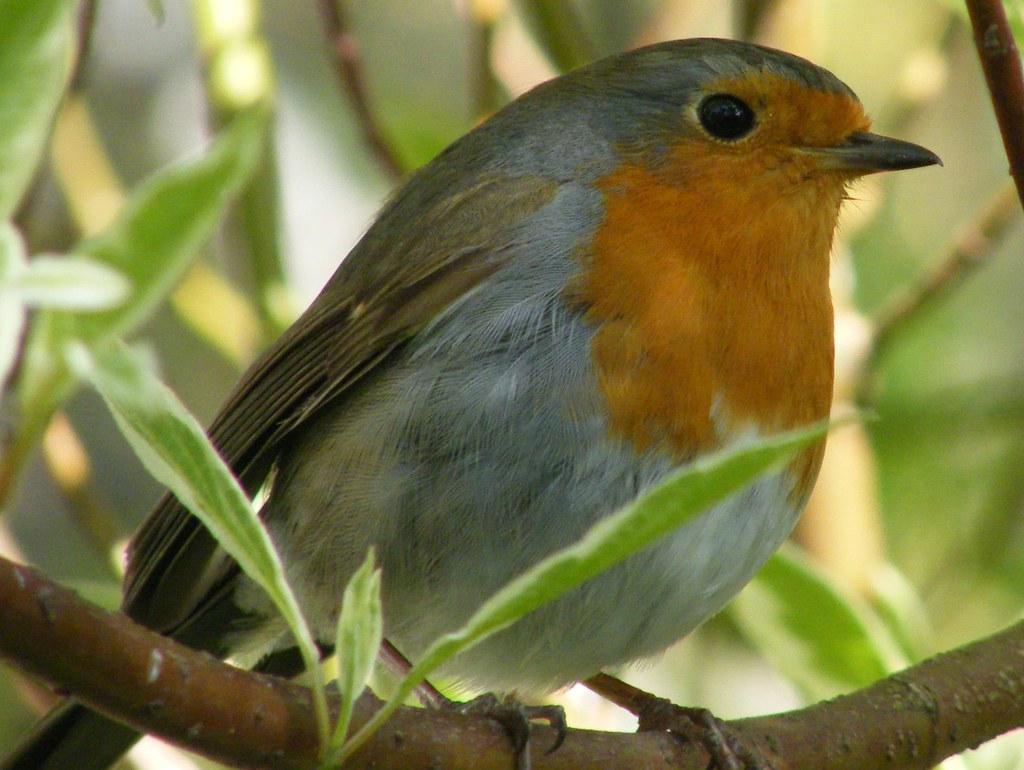 Robin.   Norman Mackenzie   Flickr