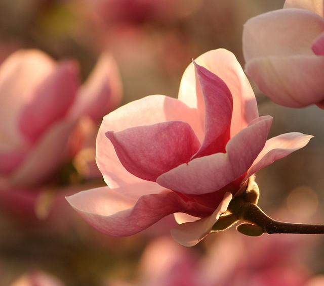 Magnolia in Sunset Light
