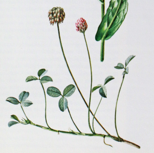 Aardbeiklaver / Strawberry cloveer / Trifolium fragiferum | by Renk Knol