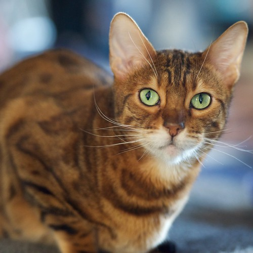 When do cats stop growing: Bengal Cats
