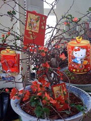 Cherry blossom with Li Xi envelopes for good fortune #Tet09 | by nguyenduong