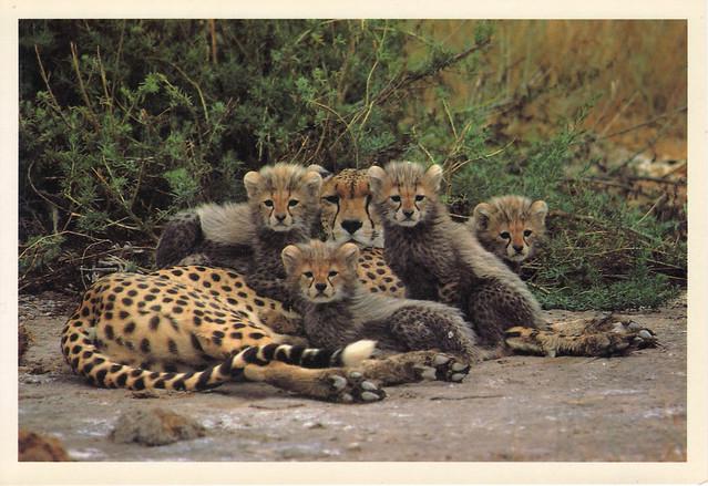 Cheetah & Cubs Postcard
