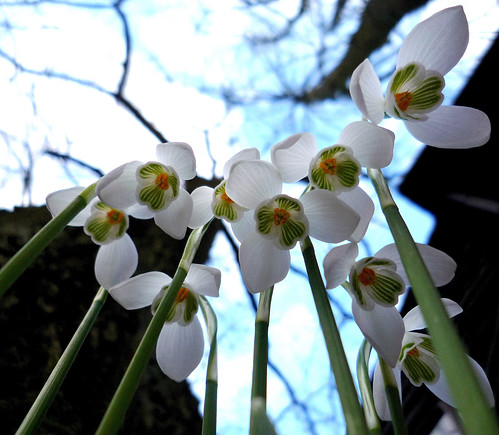 Snowdrops | by maple23