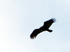 Greater Yellow-headed Vulture by dermoidhome