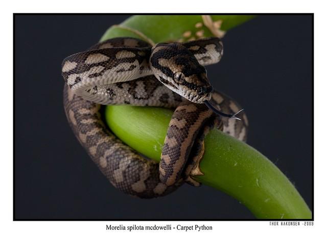 Morelia spilota mcdowelli - Carpet Python