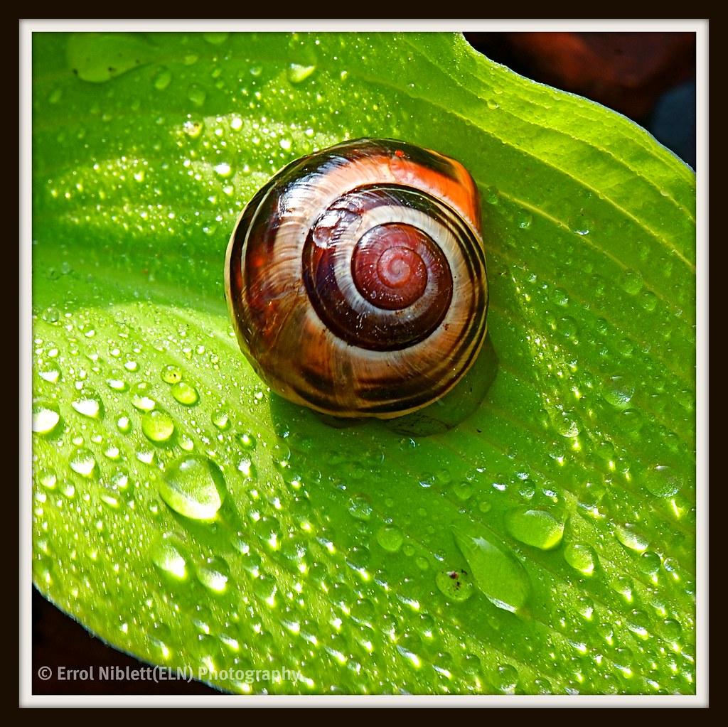 Shy Snail (1) DSC_3063 by Tripod 01