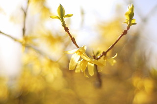 forsythia | by this lyre lark