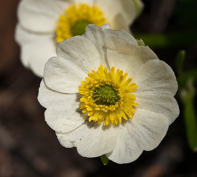 Ranunculus alpestris 'White-flowered Buttercup'