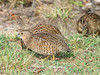 Brown Quail Covey by Mister Troy