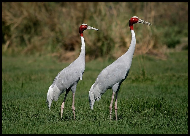 Pair of Sarus Cranes (Grus antigone) spotted in Sultanpur