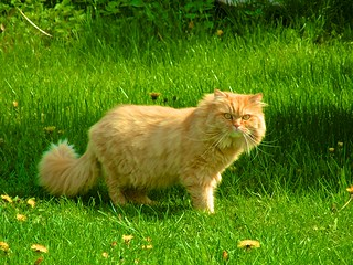 Red cat on green lawn | by UweBKK (α 77 on )