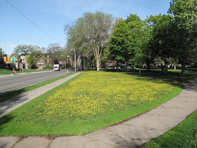 Massive & extrawdinry spread of dandelions in the morningtime.