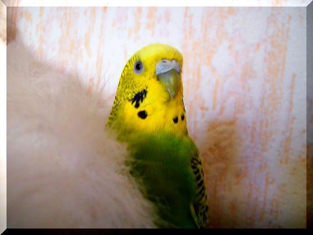 My sweet parrot:CSIPISZ