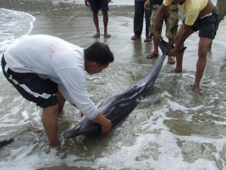 โลมาแถบ Striped Dolphin(Stenella coeruleoalba)_05