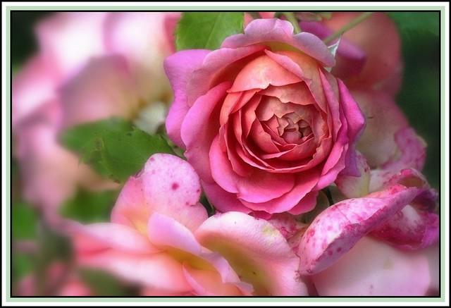 Jubilee Celebration rose1 (David Austin)