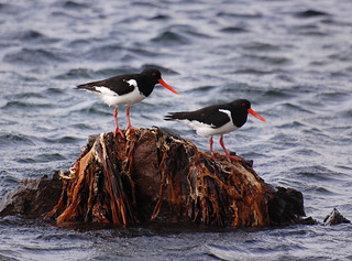 Oystercatcher | by weetoon66