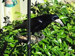 Just another ordinary garden bird