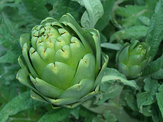artichokes | by magpie-moon