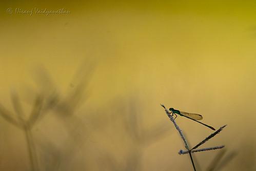 fly bokeh bangalore insects babe depthoffield damselfly damsel hebballake canoneos1dmarkiii canonef100400mmf4556lusmis niranjvaidyanathan bangaloreurban