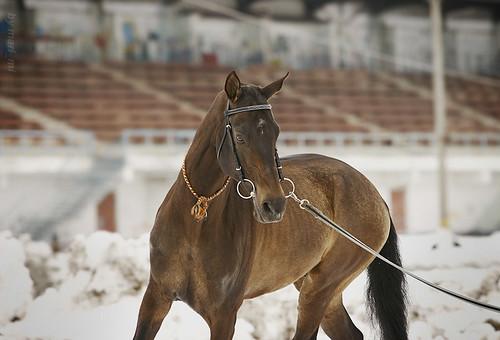 akhal-teke stallion training