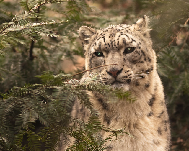 bz_snow_leopard_2-27-09_9095_resized