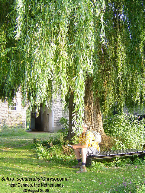 Salix ×. sepulcralis 'Chrysocoma' (Weeping Willow, Treurwilg) - near Gennep, NL 13 Aug Glynis