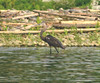 White-bellied Heron (Ardea insignis) by thetzawnaing