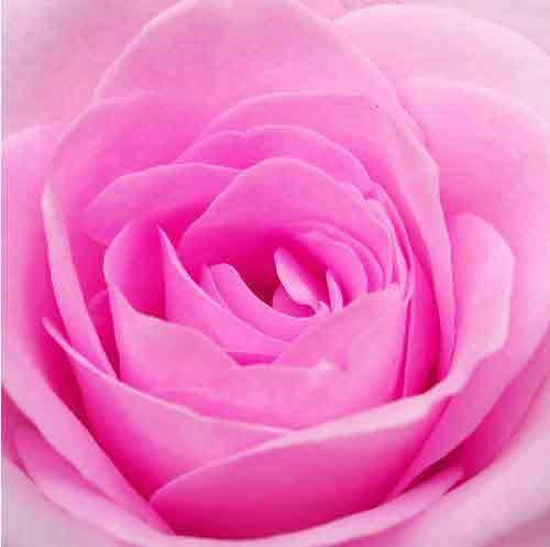 Bunga Mawar Pink Mawar Buat Kamu Brown Eye2 Flickr