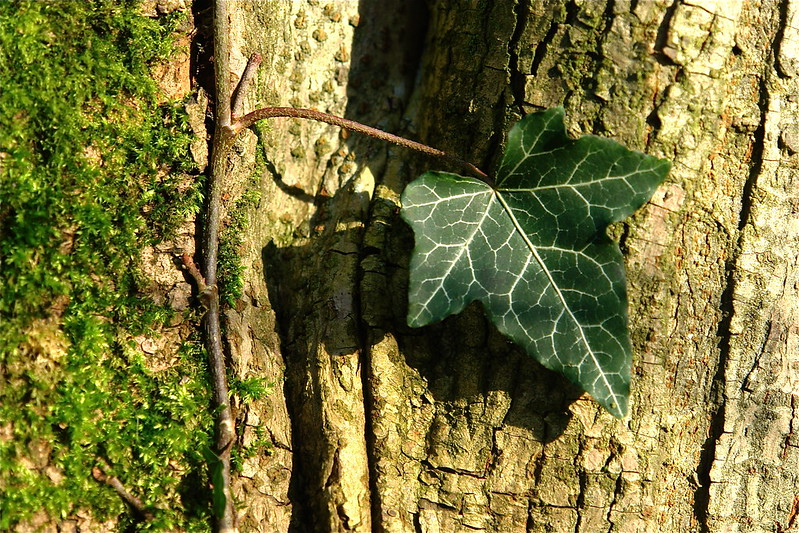 (More) Ivy